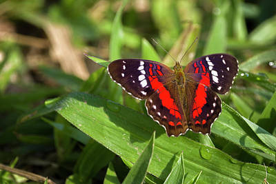 Photograph - Scarlet Peacock Butterfly La Huerta Hotel Lago Calima Valle Del  by Adam Rainoff
