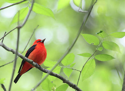 Photograph - Scarlet Tanager by Rick Veldman