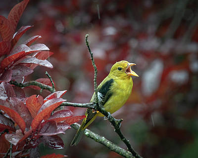 Photograph - Scarlet Tanager Singing In The Rain by Lara Ellis