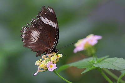 Insect Photograph - Schmetterling Butterfly by Copyright By Hellboy2503/jörg David