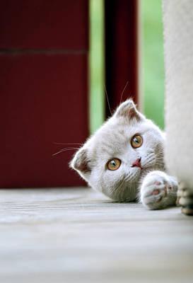 Balcony Photograph - Scottish Fold Kitten On Balcony by Photos Of Linda Gavin