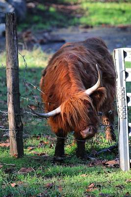 Photograph -  Scottish Highland Cattle by Carol Montoya