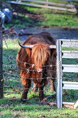 Photograph - Scottish Highland Cattle II by Carol Montoya