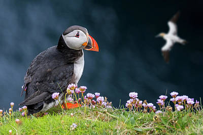 Photograph - Scottish Puffin And Gannet by Arterra Picture Library