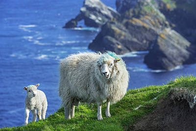 1920s Flapper Girl - Scottish Sheep with Lamb by Arterra Picture Library