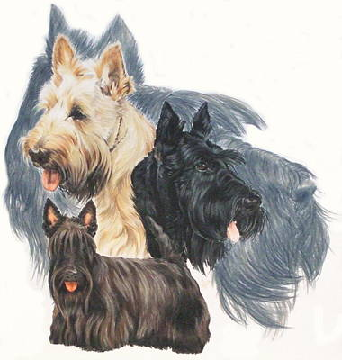 Drawing - Scottish Terrier Grouping by Barbara Keith