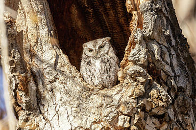 Photograph - Screech Owl Keeps Close Watch by Tony Hake