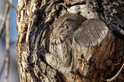 Photograph - Screech Owl Naps In The Early Morning by Tony Hake