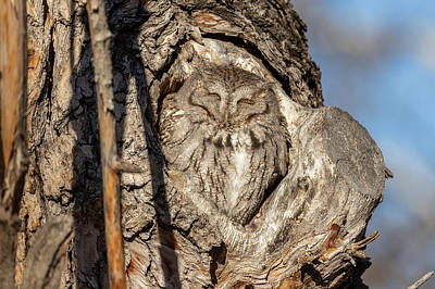 Photograph - Screech Owl Soaks In The Sun by Tony Hake