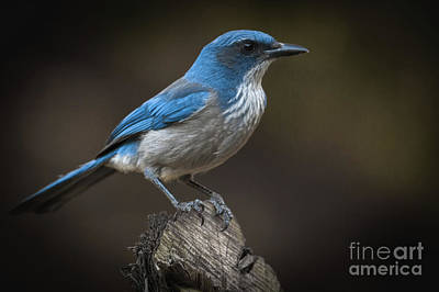 Photograph - Scrub Jay Closeup by David Cutts