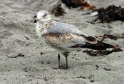 Photograph - Sea Gull by Anthony Jones