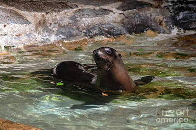 Photograph - Sea Lion by Michelle Meenawong