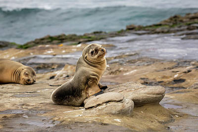 Photograph - Sea Lion Pup by K Pegg