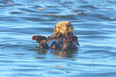 Beach Royalty-Free and Rights-Managed Images - Sea Otter by Brian Knott Photography