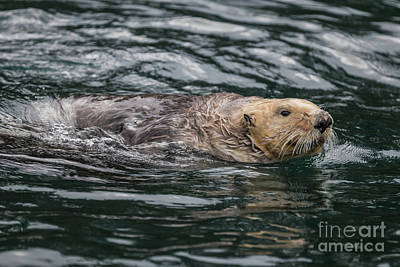 Photograph - Sea Otter In Katchemak Bay,ak by Eva Lechner