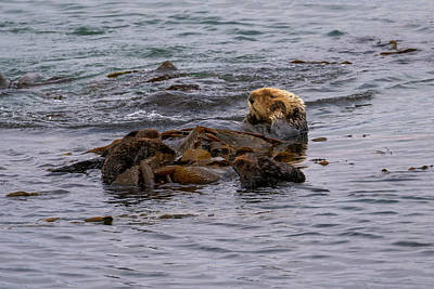 Stellar Interstellar - Sea Otter by Your Nature and Travel Images