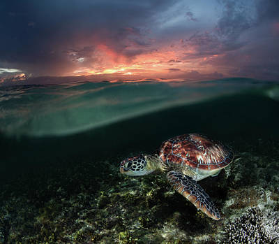Photograph - Sea Turtle At Sunset by Nature, Underwater And Art Photos. Www.narchuk.com