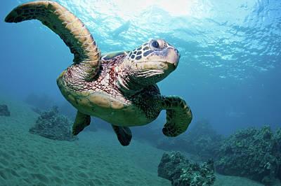Photograph - Sea Turtle Flight by M Swiet Productions