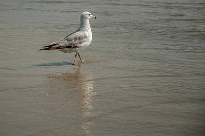Photograph - Seagul In The Water by Dan Urban