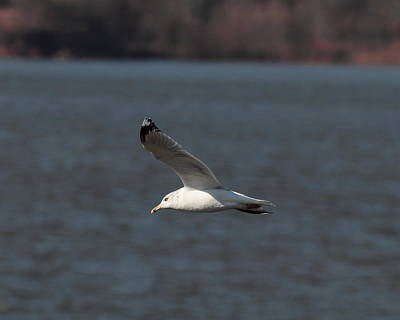 Photograph - Seagull 4146 by John Moyer