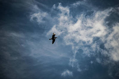 Photograph - Seagull Against Dark Sky by Scott Lyons