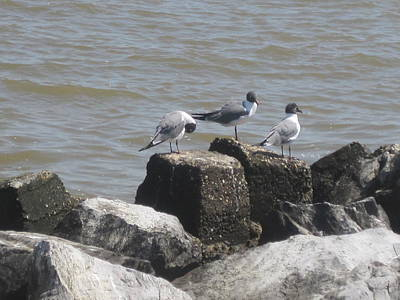 Photograph - Seagulls on Barrier Rocks by Peggy M McAloon