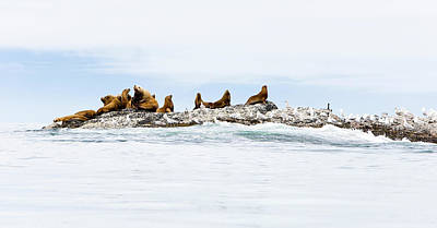 Photograph - Sealions Including The Large Steller by Boomer Jerritt