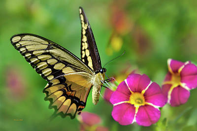 Photograph - Second Nature Butterfly by Christina Rollo