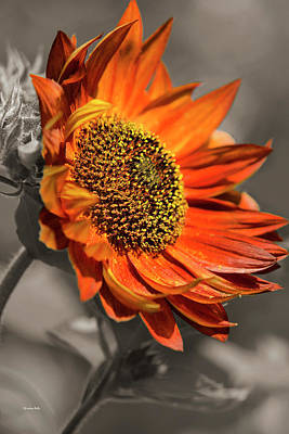 Photograph - Selective Color Sunflower by Christina Rollo