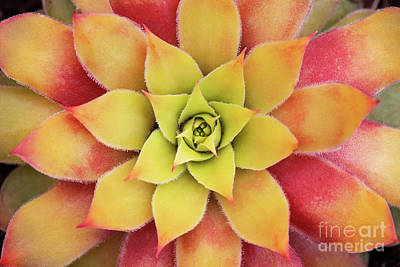 Photograph - Sempervivum Chick Charms Gold Nugget by Tim Gainey
