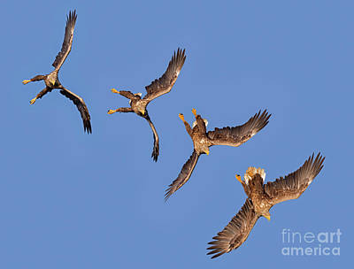 Photograph - Sequence Of Diving White-tailed Eagle by Arterra Picture Library