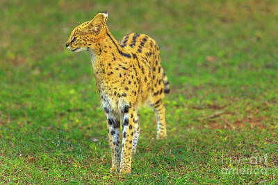 Photograph - Serval South Africa by Benny Marty
