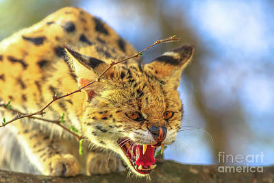 Photograph - Serval Very Angry by Benny Marty