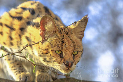 Photograph - Serval Wild Cat by Benny Marty