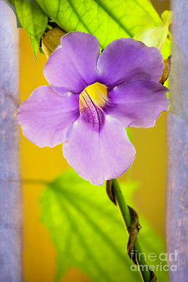 Photograph - Sexy Sky Vine Flower by Sabrina L Ryan