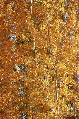 Photograph - Shades Of Yellow Autumn Leaves by Carol Groenen