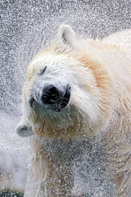 Eyes Closed Photograph - Shaking Polar Bear by Picture By Tambako The Jaguar