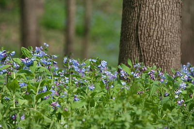Photograph - Shallow Bluebells by Dylan Punke