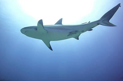 Photograph - Shark silhouette by Monique Taree