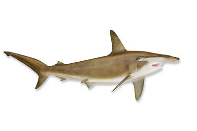 Shark With Clipping Path Art Print by Georgepeters