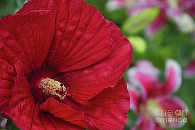 Photograph - Sharp Hibiscus Flower by Amy Dundon