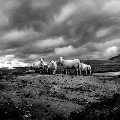 Photograph - Sheep In Pasture B&w by Brian Klutch