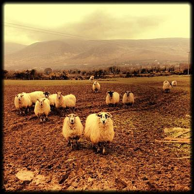 Art Prints Photograph - Sheep by Littleny Photographic Arts ~ Lisa Combs