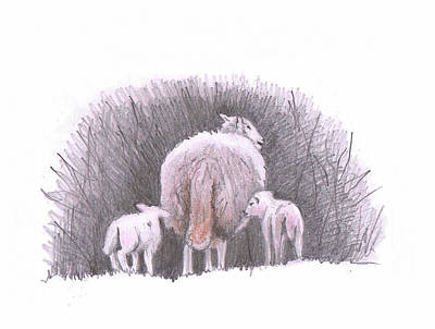 Drawing - Sheep Sketch Iv by Helen White
