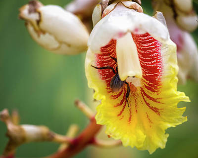Photograph - Shell Ginger Flower La Huerta Hotel Lago Calima Valle Del Cauca  by Adam Rainoff