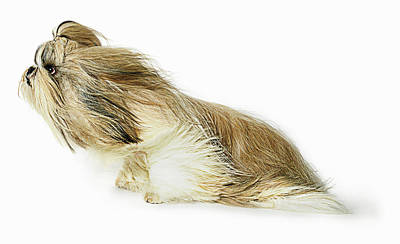 Dog Photograph - Shih-tzu Dog Fur Blowing In The Wind by Gandee Vasan