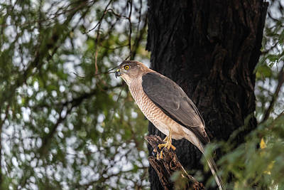 Moody Trees - Shikra in the wild by Pravine Chester