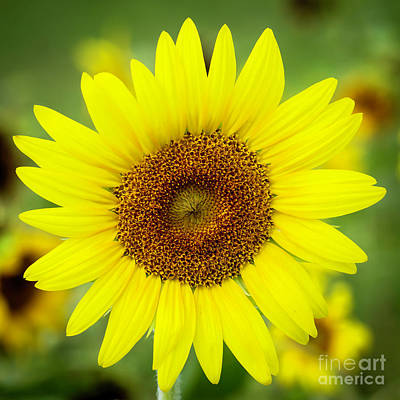 Photograph - Shine Like A Sunflower by Sabrina L Ryan
