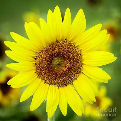 Photograph - Shine Like A Sunflower by Sabrina L Ryan