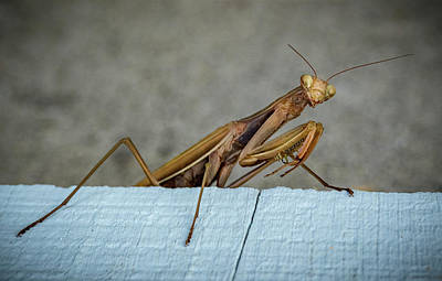 Photograph - Shingle Mantis by Jean Noren